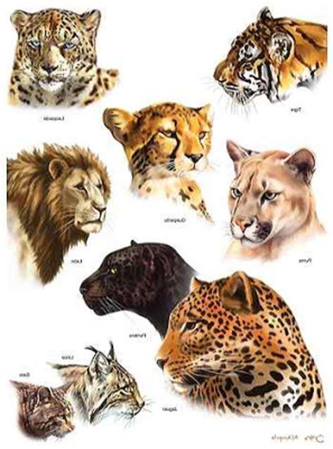 imagenes impactantes de felinos felinos endemicos