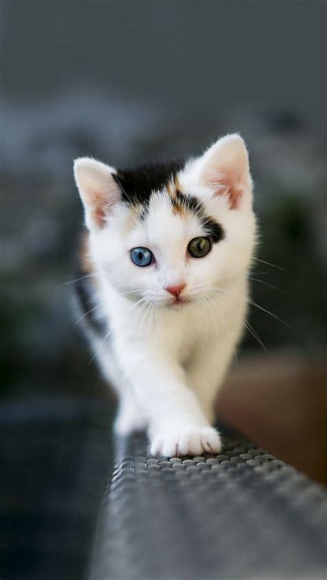 small odd eyed kitten iphone  wallpapers hd