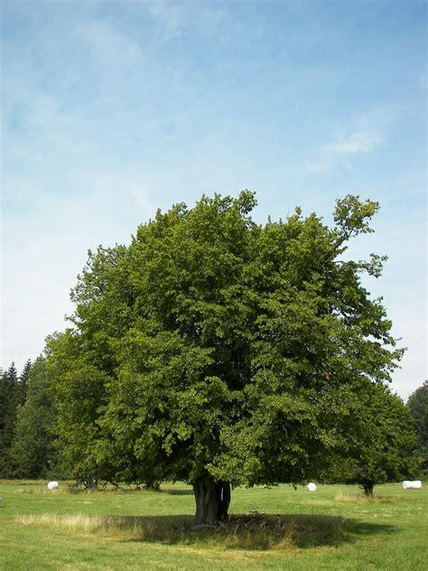 trees planet carpinus betulus european hornbeam
