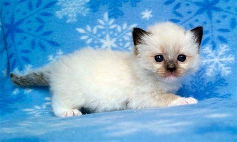 imagenes geniales de gatos gato ragdoll caracter 237 sticas qu 233 come d 243 nde vive