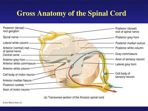 diagram of the spinal cord spinal cord anatomy human anatomy diagram