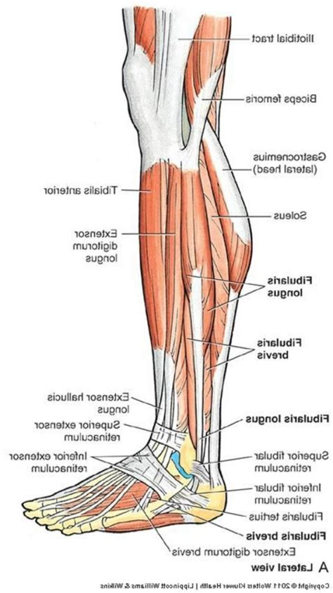human tendons diagram lower leg tendon anatomy human anatomy diagram
