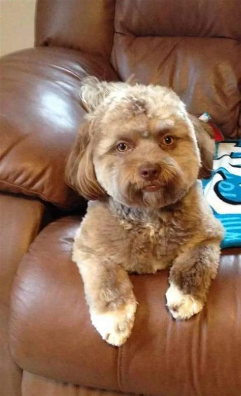 human names for dogs shih poo gains fame as quot with a human quot