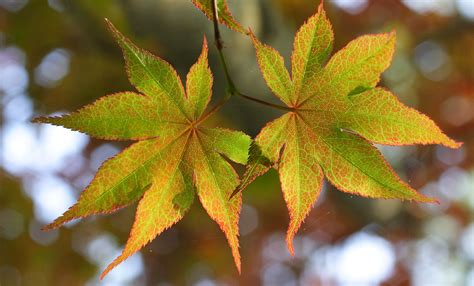 file japanese maple leaves jpg wikimedia commons