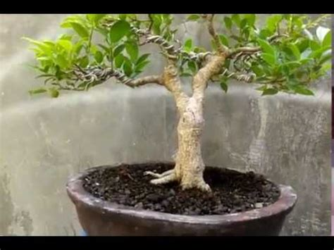 Sho Ginseng Rudy bonsai kimeng beringin taiwan ficus microcarpa bonsai