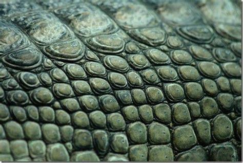 Alligator Skin by Crocodile Skin Texture