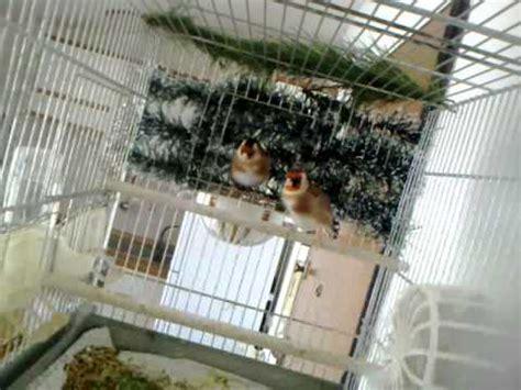 accoppiamento cardellini in gabbia la coppia di cardellini