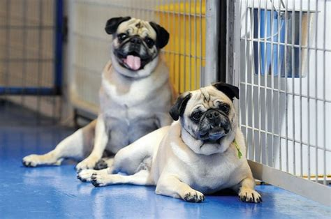pug rescue shelter how to adopt a pug join the mission and help save our shelter