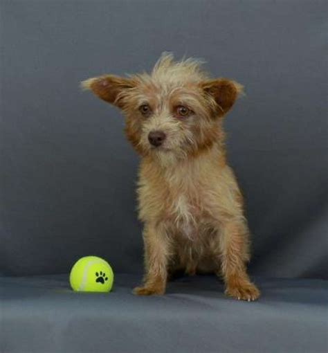 free small puppies houston pets for vets dogs available for adoption houston chronicle