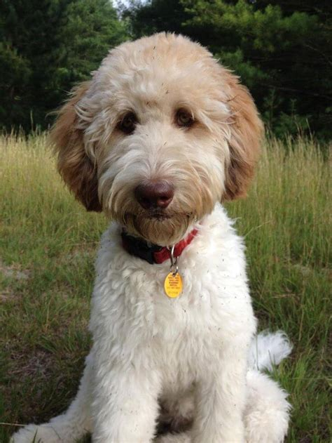 goldendoodle puppy tricks 10 tips and tricks for grooming and brushing your