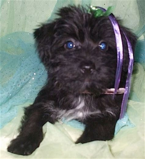 scottish terrier and yorkie mix yorkie terrier scottie scottish terrier mix puppy for sale breeds picture