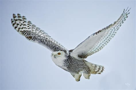 Owl Print Duvet Cover Snowy Owl In Flight Photograph By Everet Regal