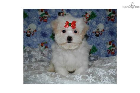 maltese puppies for sale louisiana maltese puppies for sale in louisiana breeds picture