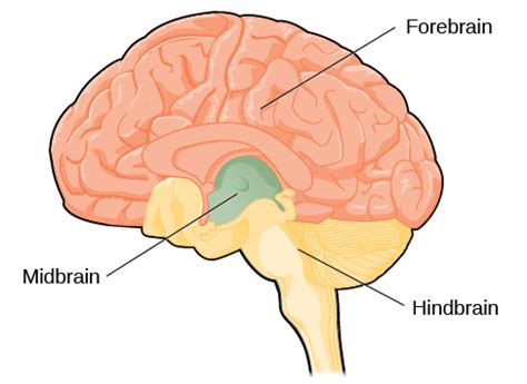 major sections of the brain the brain and spinal cord introduction to psychology