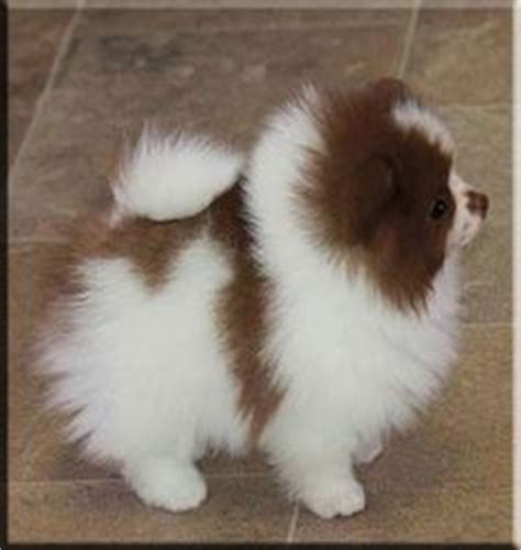 how do teacup puppies live how do pomeranians live pomeranians pomeranian husky puppies and teacup