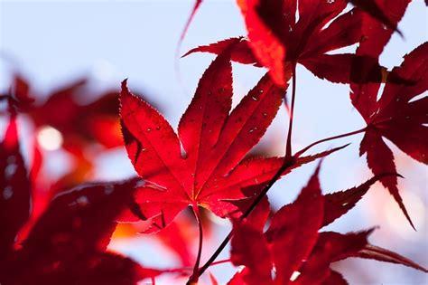 photo maple autumn leaf red leaves  image