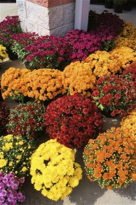 chrysanthemum fertilizer how and when to fertilize mums