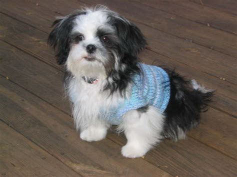 shih tzu breed information shih tzu breed information puppies pictures