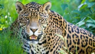 Jaguar Fact Amazing Facts About Jaguars Onekindplanet Animal