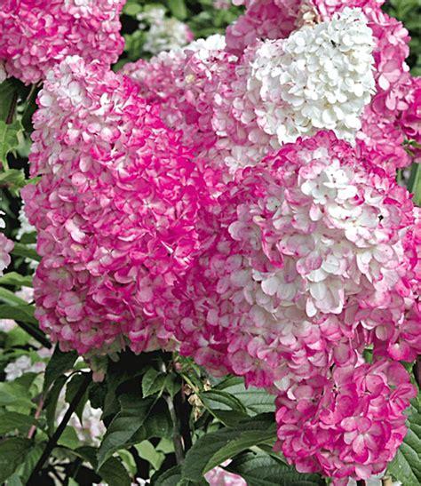 Freiland Hortensie Vanille Fraise 1625 by Freiland Hortensie Vanille Fraise 174 1a Qualit 228 T Baldur