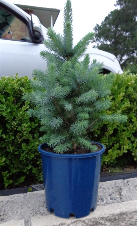 we also sell a selection of gorgeous christmas trees in pots