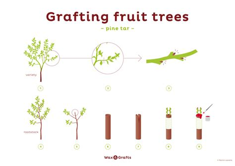 fruit tree grafting supplies grafting fruit trees the tree center