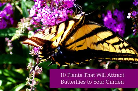 plants   attract butterflies   garden