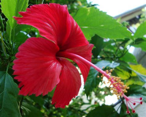 chembarathi  chemparathi  thali shoe flower