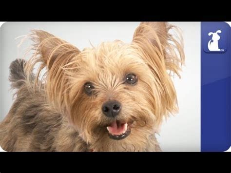 yorkie smartest misa minnie worlds smartest puppy 22 wks terriers yorkies