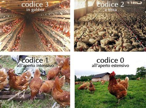 allevamento galline in gabbia galline fuorilegge non mangio le uova sig bruzzese