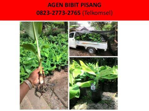 Bibit Pisang Cavendish Di Semarang bibit pisang 1000 0823 2773 2765 telkomsel