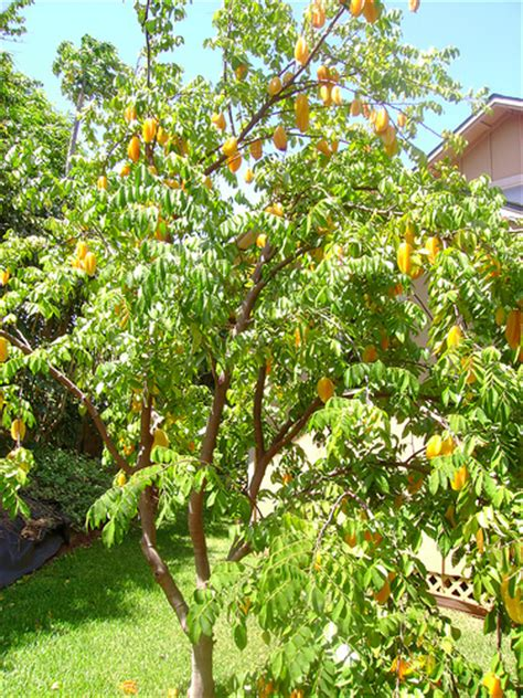 carambola fruit tree fruit tree flickr photo