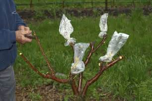 Grafting Techniques For Fruit Trees - tree grafting pictures