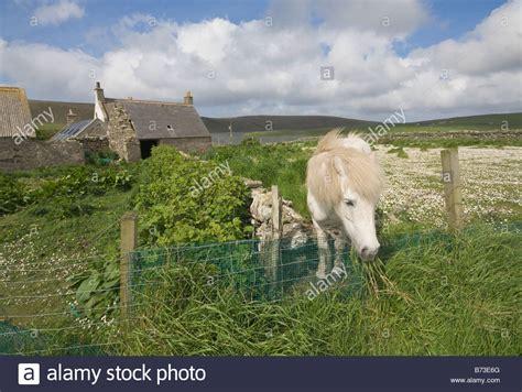 shetland pony stock photos images royalty free shetland garden with shetland pony fetlar shetland scotland uk