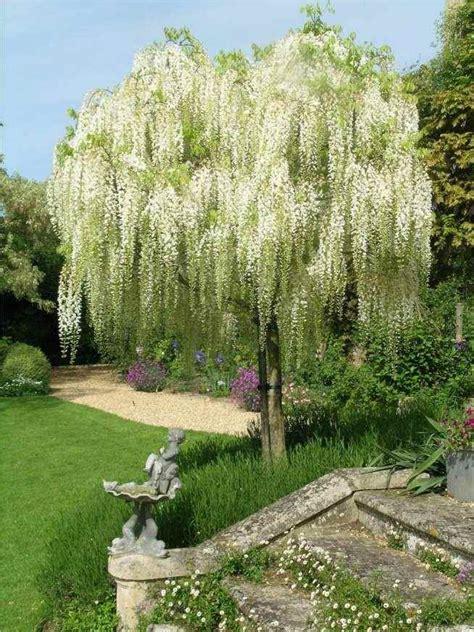 25  best ideas about Wisteria Tree on Pinterest   Flower