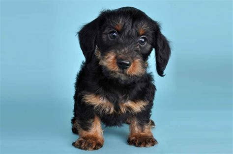 yorkie mixed with dachshund dachshund yorkie quot dorkie quot puppy my dorkies i want yorkie and puppys
