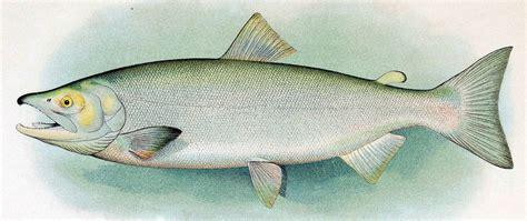 sockeye salmon wikipedia
