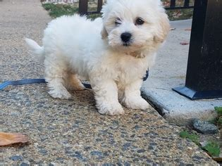 cinnamon maltipoo puppies for sale view ad maltipoo puppy for sale virginia arlington usa