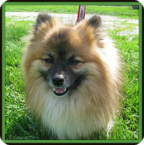 pomeranian breeders indiana pomeranian puppies in indianapolis breeds picture