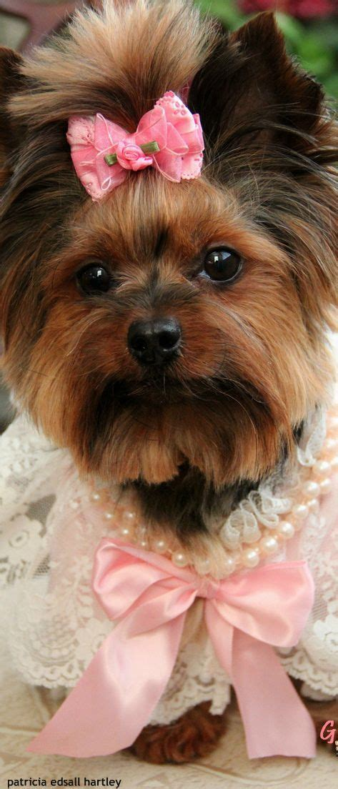 teacup yorkie haircuts pictures 2764 best yorkie love images on pinterest