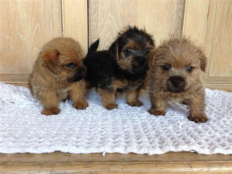 norfolk terrier puppies amazing kc reg norfolk terrier puppies fs denbigh denbighshire pets4homes