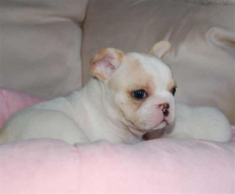 puppy week at home puppy s month at home 8 12 weeks daily