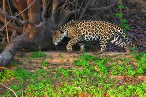 Do Jaguars Eat Plants 11 Facts About The Pantanal Wetlands