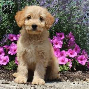 doodle puppy mill miniature goldendoodle puppies for sale in pennsylvania