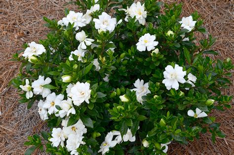 Gardenia Bud Drop Care Editions Plants