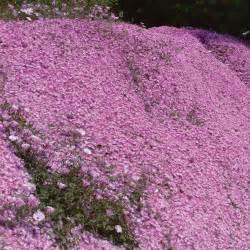 delosperma pink ribbon perennial amp biennial plants thompson home interior design ideashome
