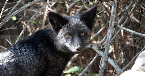 silver fox facts animals of north america worldatlas com