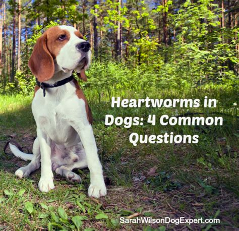 how do dogs get heartworm heartworms in dogs 4 common questions