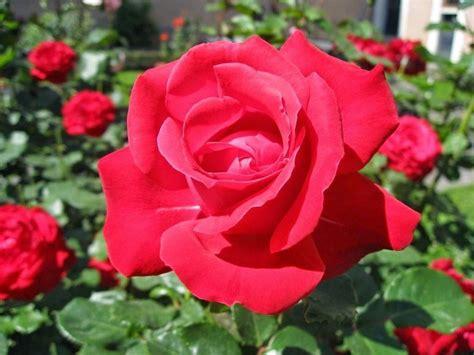 tips  bunga mawar  rumah rajin berbunga rooangcom
