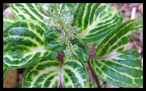 tropical plants for indoors tropical blood leaf iresine herbstii indoor